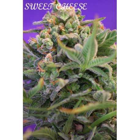 Sweet Cheese, 5 unidades feminizadas