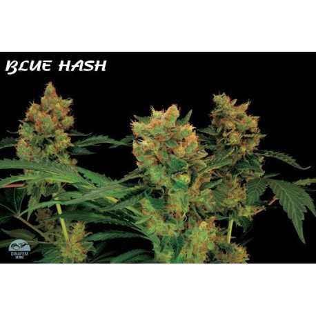 BLUE HASH,10 semillas feminizadas