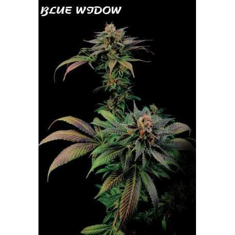BLUE WIDOW, 5 semillas feminizadas