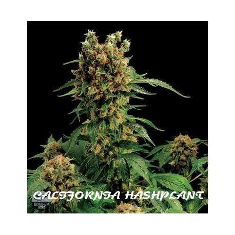 CALIFORNIA HASHPLANT,1 semilla feminizada