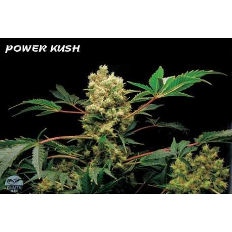 POWERKUSH, 1 semilla feminizada