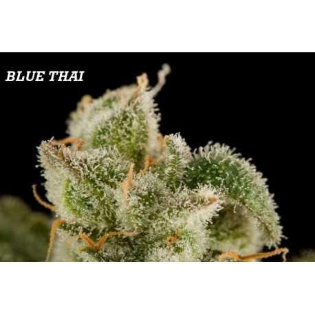 BLUE THAI, 5 semillas feminizadas