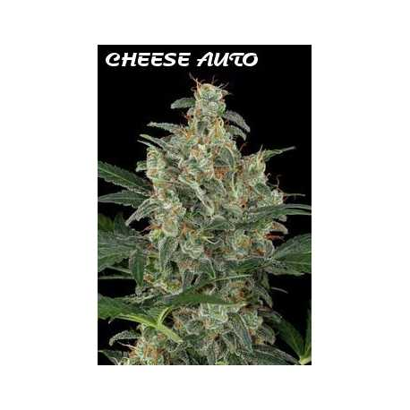 CHEESE AUTO, 5 semillas
