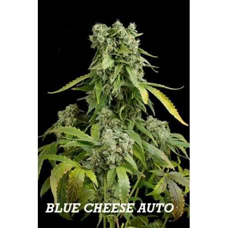 BLUE CHEESE AUTO, 3 semillas