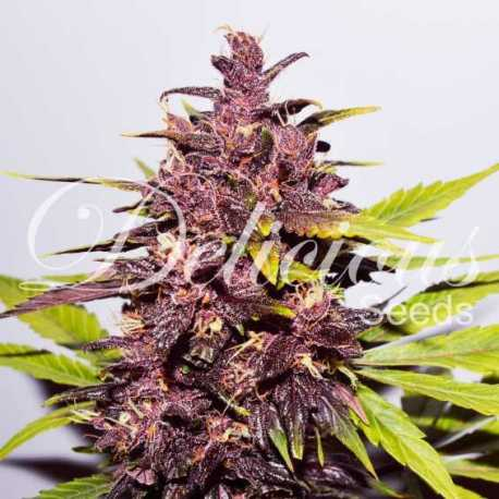 DARK PURPLE AUTO (3)