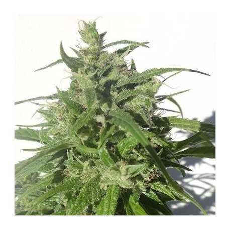 Green Honduras Haze Reg. Ed. Limitada (10u)