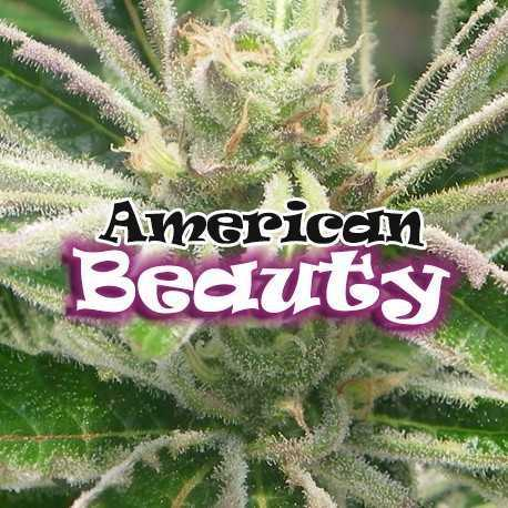 AMERICAN BEAUTY (8)