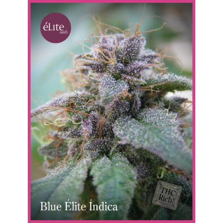BLUE ELITE INDICA (3)