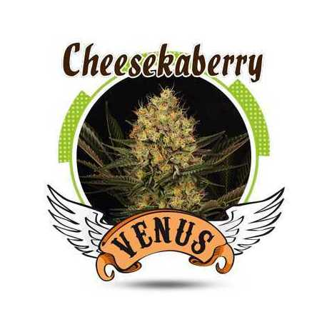 CHEESKABERRY (25)