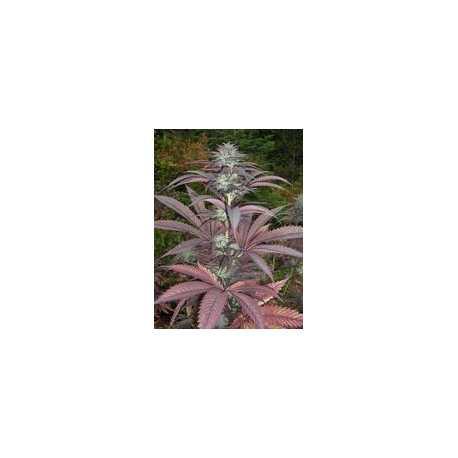Purple Pineberry  10ud Regulares